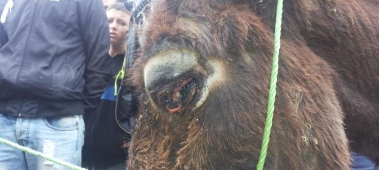 Pour une sanction contre l'employé de la commune de la province de Guercif Maroc pour avoir torturé et percé les yeux de trois ânes